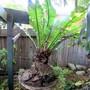 Birds nest fern needing help.. (Asplenium australasicum (Birds Nest Fern))