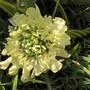 Giant Scabious (Cephalaria gigantea (Giant scabious))