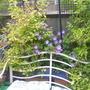 Johnsons blue geraniums 001