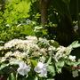 Hydrangea climber  (Hydrangea anomala (Climbing hydrangea))