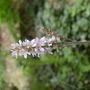 Francoa sonchiflora (Francoa sonchifolia (Bridal Wreath))