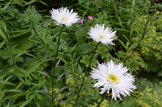 Leucanthemum x superbum Aglaia (Leucanthemum x superbum Aglaia)