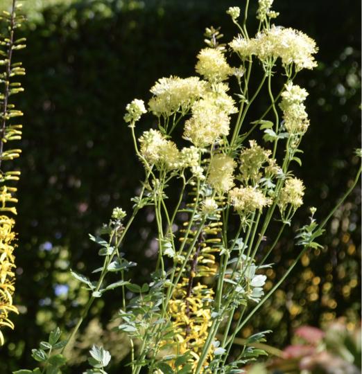 Thalictrum flavium (Thalictrum flavum (Common Meadow Rue))