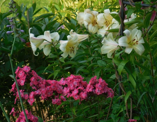 Phlox and white Lily