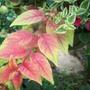 Fuchsia 'Autumnale'