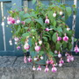 Fuchsia 'Lena' for Steragram...