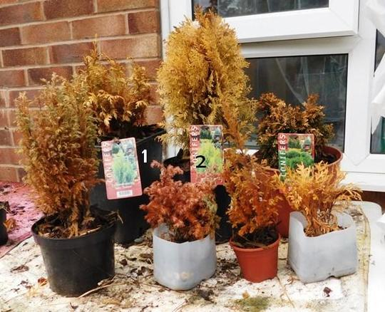Conifers going rusty??