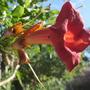 Campsis (Campsis radicans)