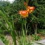 Gladiolus dalenii - 2017 (Gladiolus dalenii)