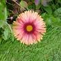 Gaillardia (Gaillardia aristata (Blanketflower))