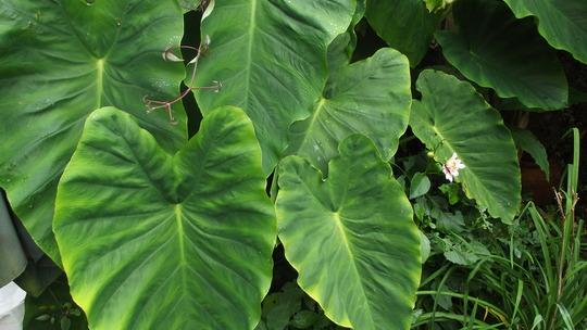 Colocasia esculenta (Colocasia esculenta)