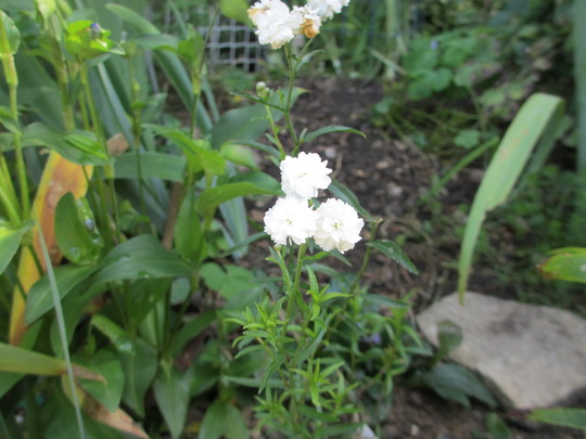 Achillea The Pearl (For my File)