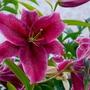 Showy deep Maroon Oriental Lily