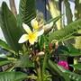 Its been awhile. (Plumeria rubra (Atabaiba Rosada))