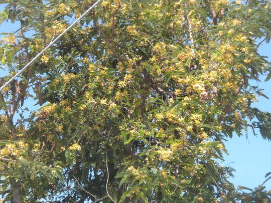 Tarindus indica - Tamarind Tree Flowers (Tarindus indica - Tamarind Tree)