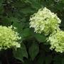 Hydrangea paniculata 'Limelight'  (Hydrangea paniculata 'Limelight')