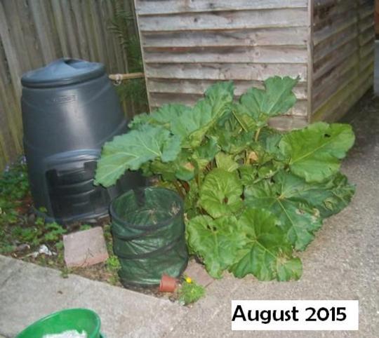 rhubard 21st August 2015 (Rheum rhabarbarum (Rhubarb))