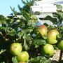 Apples coming on well.