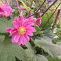 Anemone 'Pamina' (Anemone japonica)
