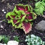 Coleus mini garden