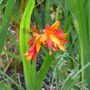 Crocosmia_jackanapes_2017