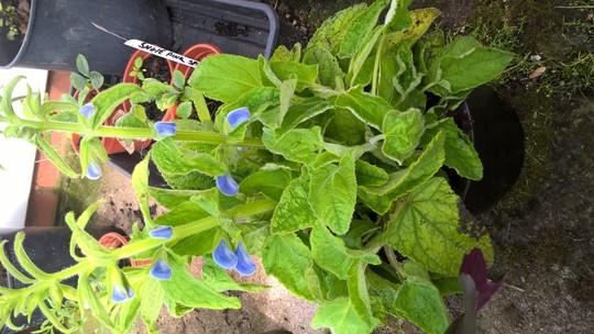 Salvia patens patio blue