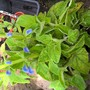 Salvia patens patio blue
