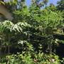 Papaya Crazy!   (Carica papaya (Common Pawpaw))