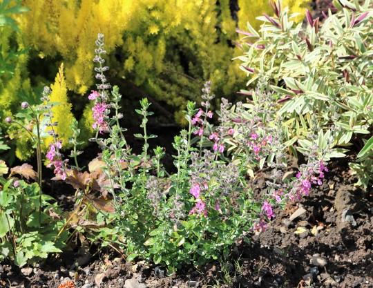 Teucrium chamaedrys (Hedge Germander, Rose Germander) (Teucrium chamaedrys)