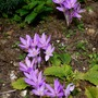Autumn Crocus's