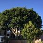 Ficus benjamina (Weeping fig), Ficus lyrata