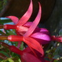 Fuchsia 'Dollar Princess'?