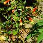 Desfontainia spinosa (Desfontiania spinosa)