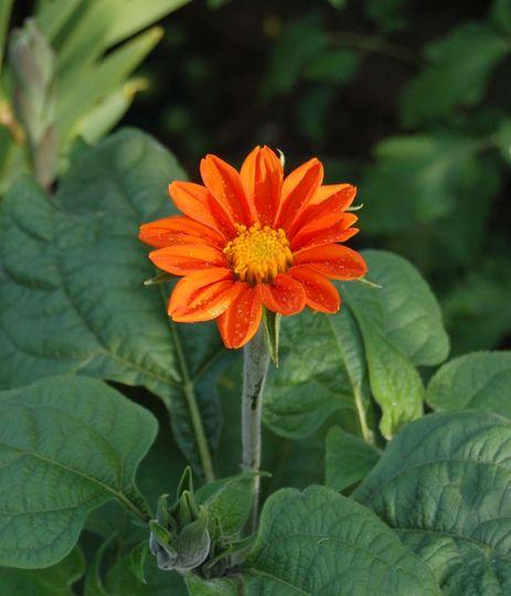 Tithonia rotundifolia (Tithonia rotundifolia (Mexican sunflower))
