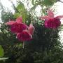 Fuchsia Garden News