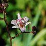 Tricyrtis formosana 'Dark Beauty' (Tricyrtis formosana (Toad Lily))