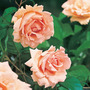 Rosa Breath of Life, Harquanne (Rosa)