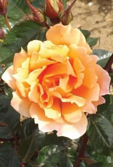 Rosa Bridge of Sighs, Harglowing (Rosaceae)