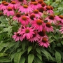 Echinacea_powwow_wild_berry_coneflower