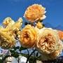 Rose 'Crown Princess Margaretta'