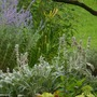 Layered spot. Russian Sage Lambs Ear, Coleus and Hydrangea