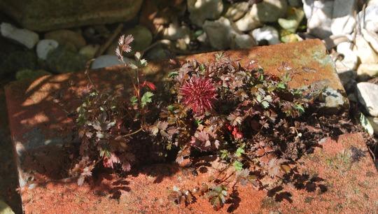 Acaena in brick...... (Acaena microphylla kupferteppich.)