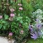 Scruffy corner......Monarda, black cornflower, Perovskia Anthemis (Perovskia atriplicifolia (Russian Sage))
