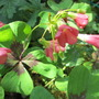Oxalis - Good Luck Clover (Oxalis depeii)