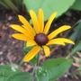 Rudbeckia fulgida 'Deamii' (For my File) (Rudbeckia fulgida (Black-eyed Susan))