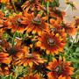 Summerina Orange syn Echibeckia
