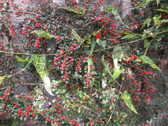 Cotoneaster (verticalis haha!) (Cotoneaster horizontalis)