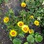 Coreopsis_grandiflora_sunfire_2017