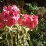 Variegated Phlox flowers (Phlox paniculata (Perennial phlox))