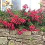 Common Fuchsia.